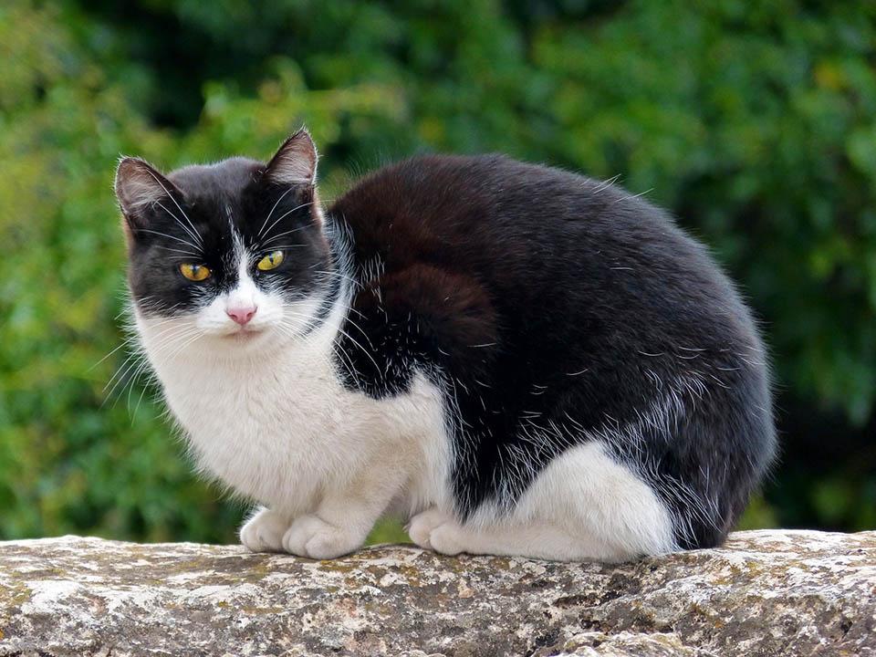 Gato color blanco y negro