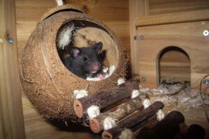 Hamster como animal doméstico
