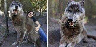 hombre abandono a perro lobo por suerte un santuario le salvo la vida