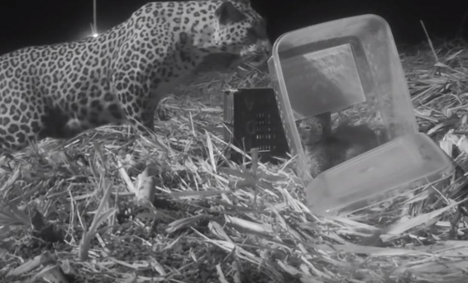 Madre leopardo se reune con su hijo