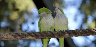 pajaros del amor inseparables