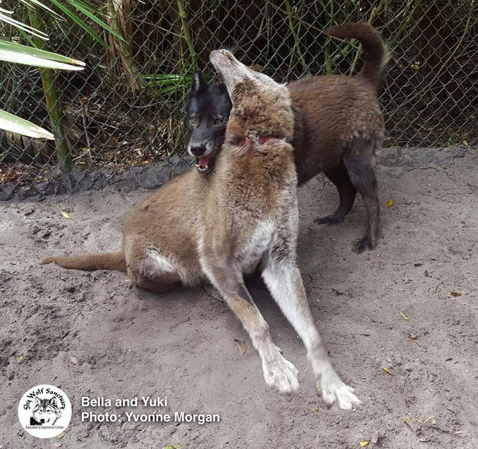 par de lobos son amigos