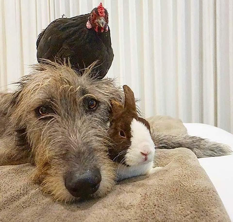 Perrito gallina y conejo