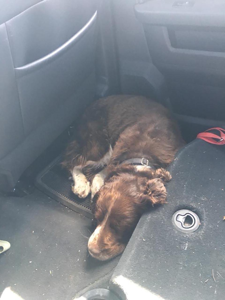 Perrito rescatado descansa en el auto