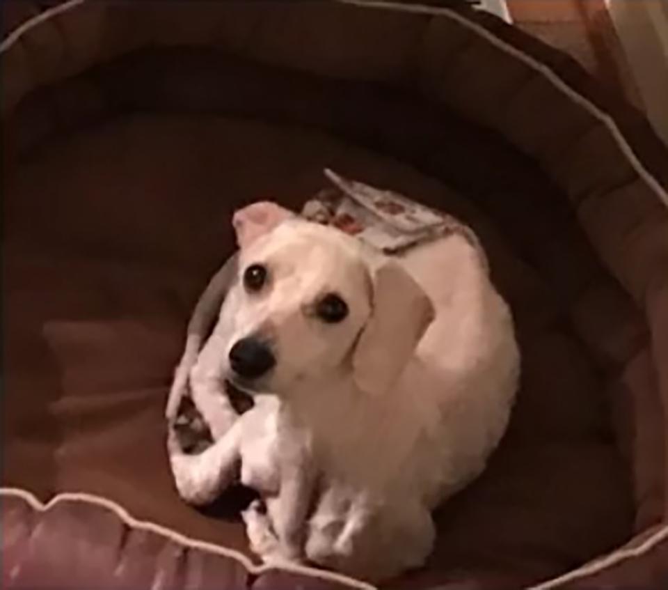 perro caniche relajandose