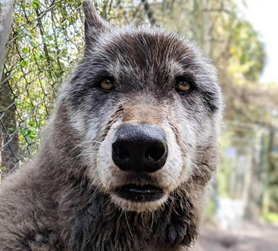 perro lobo habia sido abandonado por hombre