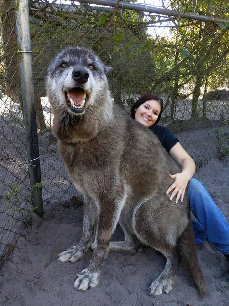 perro lobo realmente no es tan grande como parece en foto