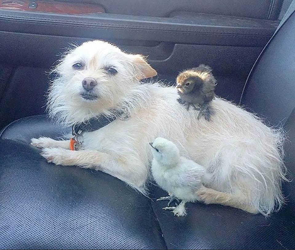 Perro y pollitos en el auto