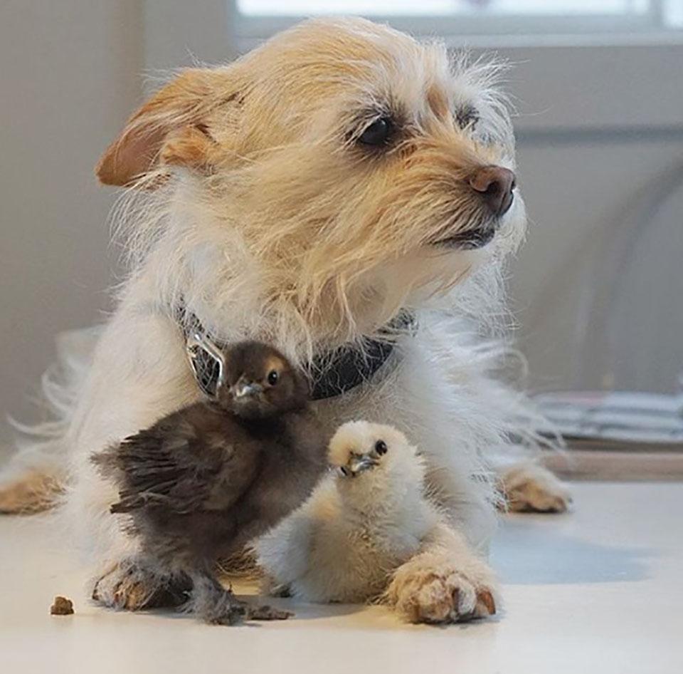 Perro y pollitos