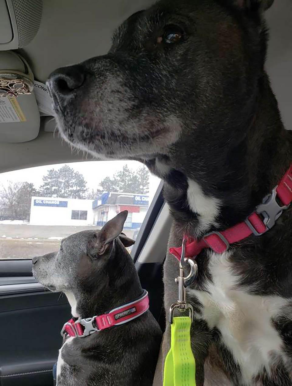 perros en auto
