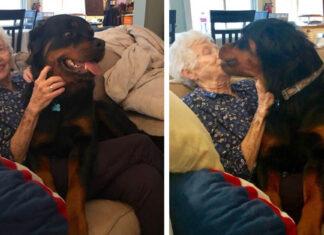 rottweiler le demuestra a abuelita que el es un perro cariñoso y obediente
