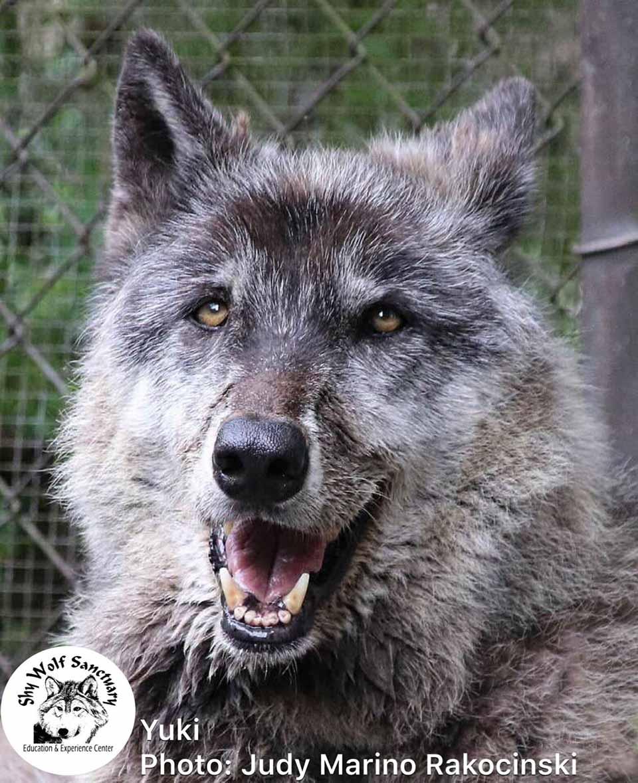 yuki es un perro lobo