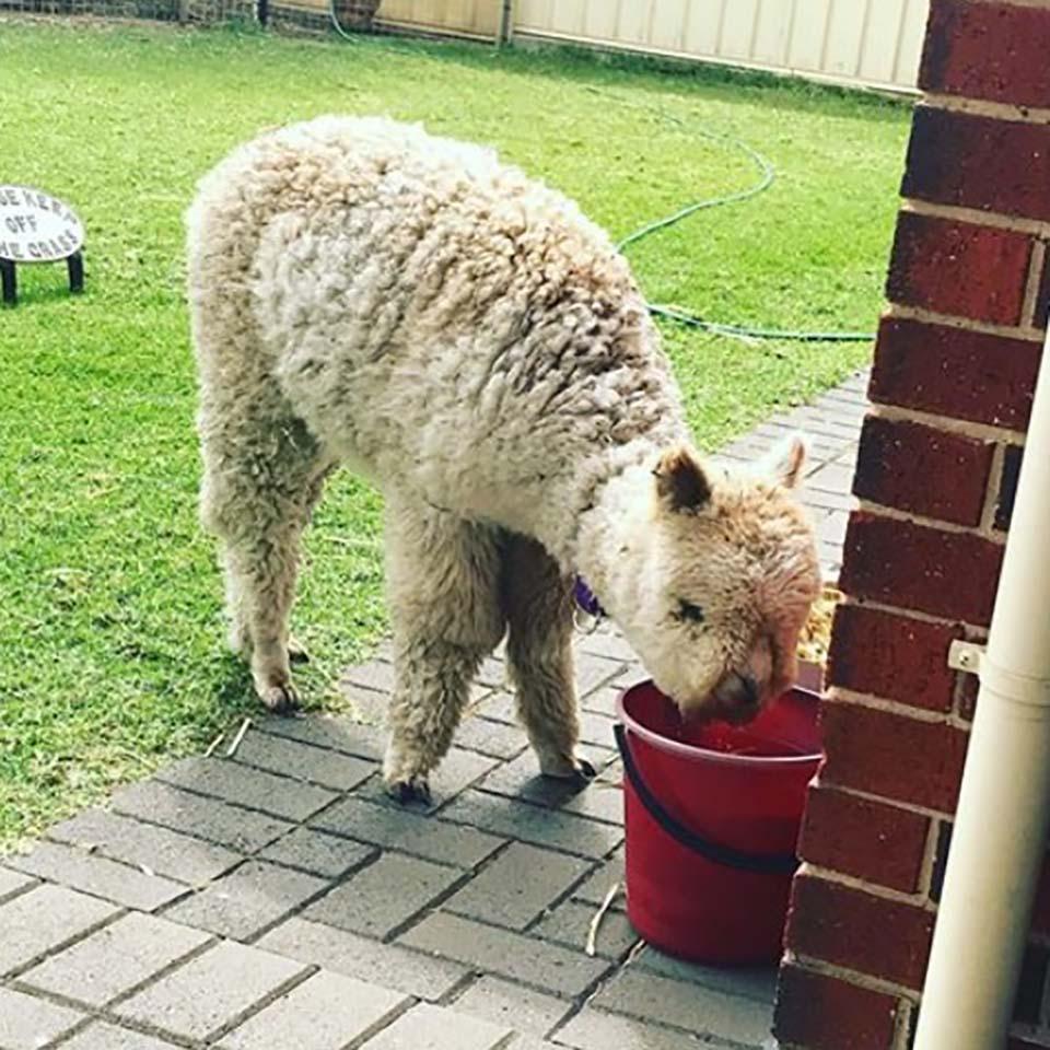 Alpaca bebiendo agua