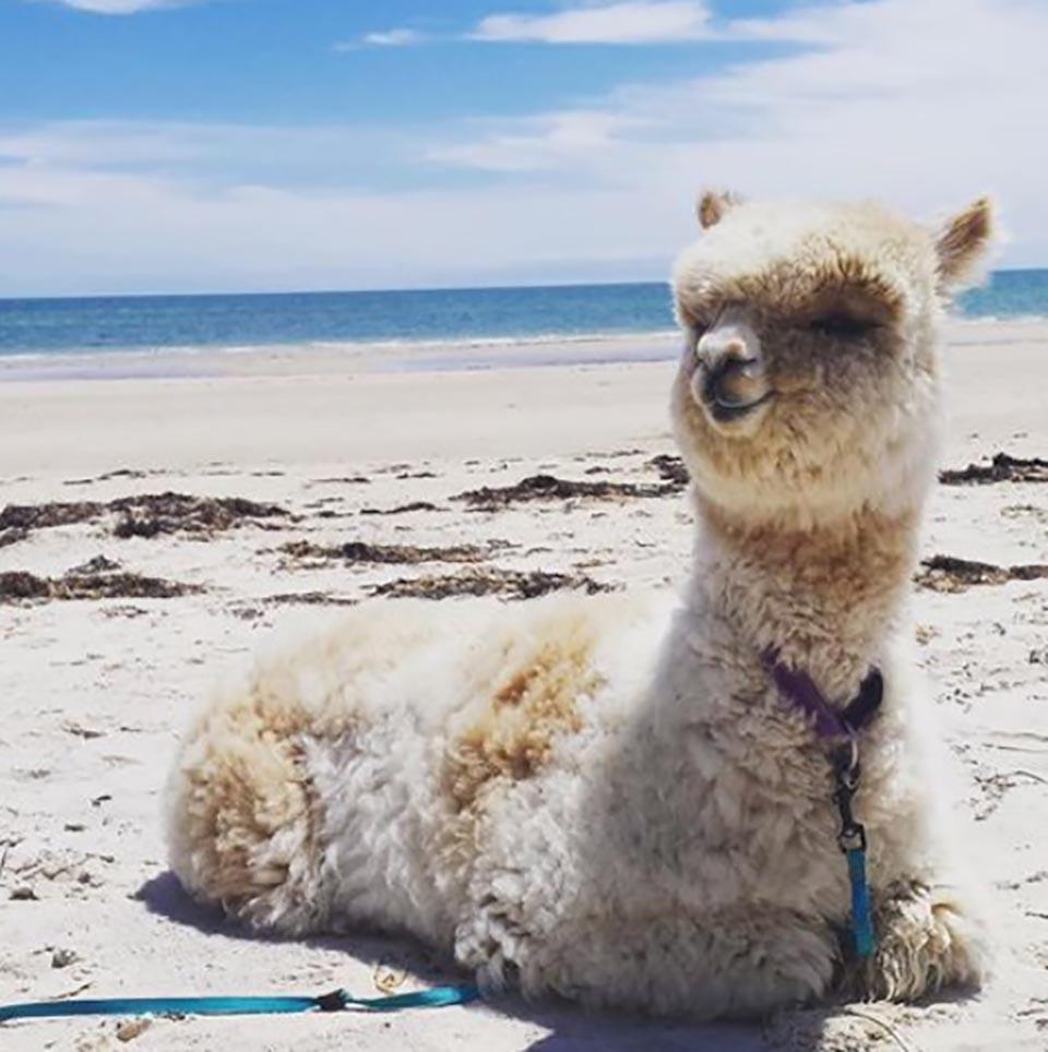 Alpaca en la playa