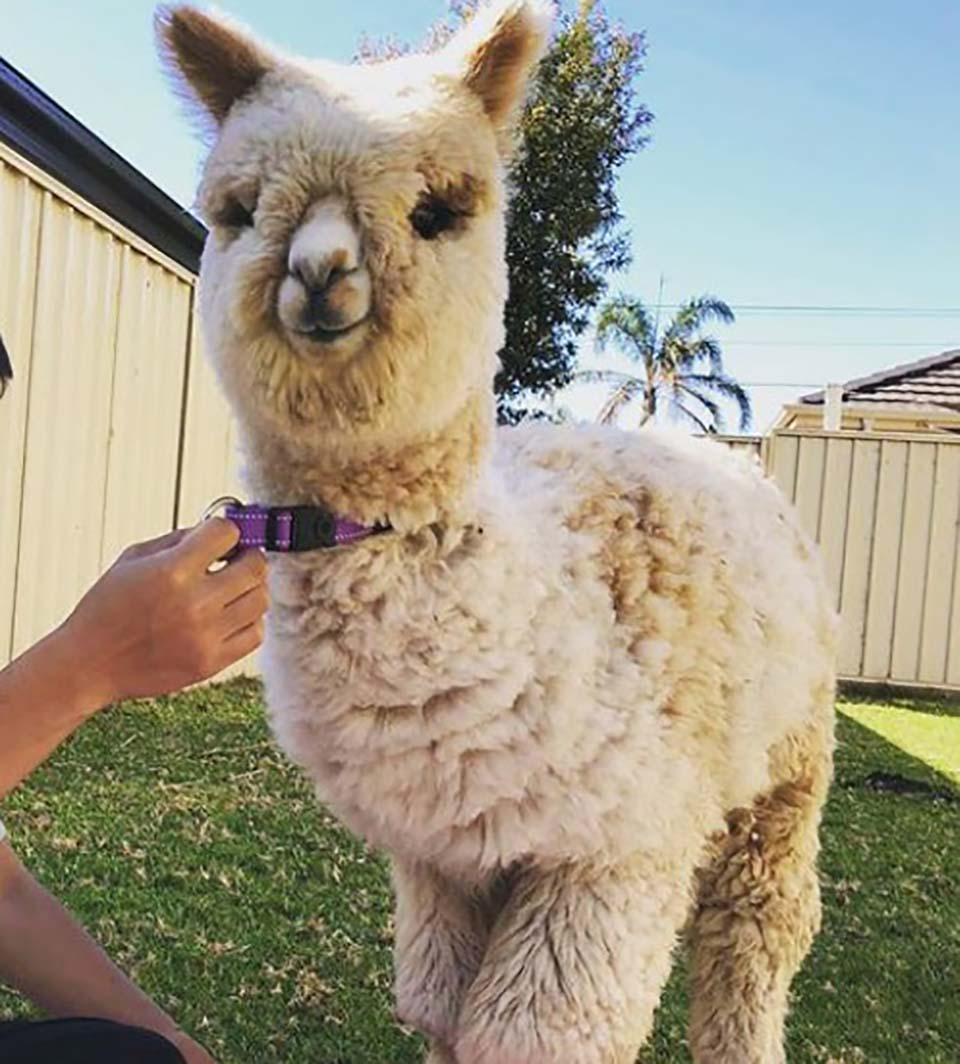Alpaca es la sensación en Instagram