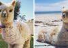 Alpaca se convirtió rápidamente en toda una sensación en Internet