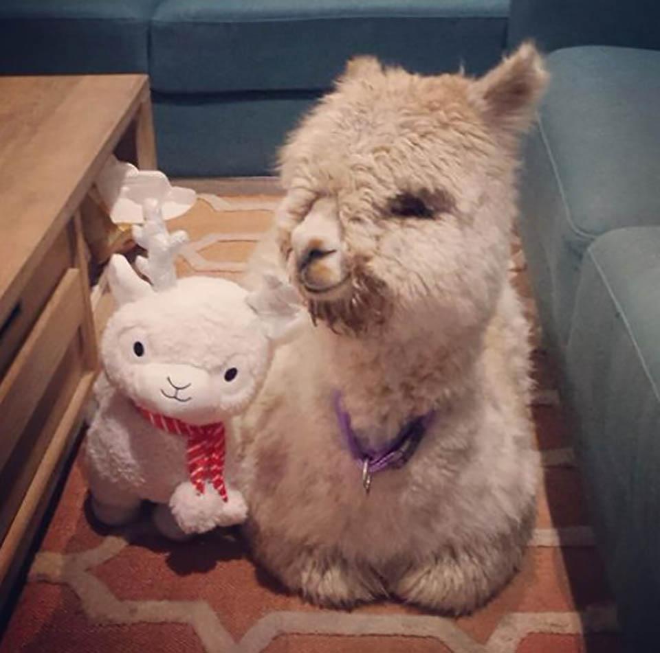 Alpaca y juguete