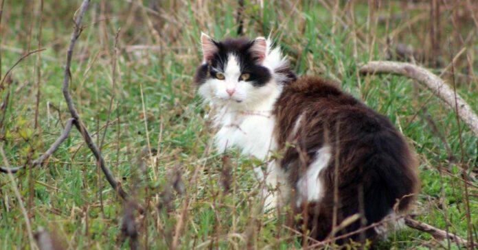 Australia planea acabar con 2 millones de gatos