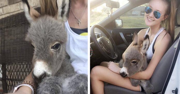 Estudiante de secundaria adopta a un pequeño burro