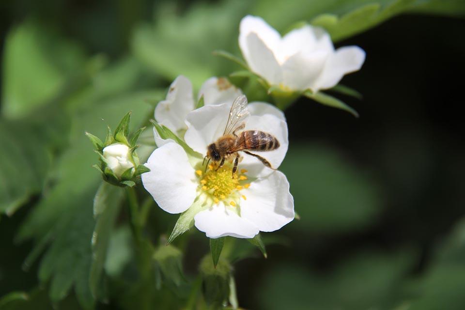 Flor blanca y abeja