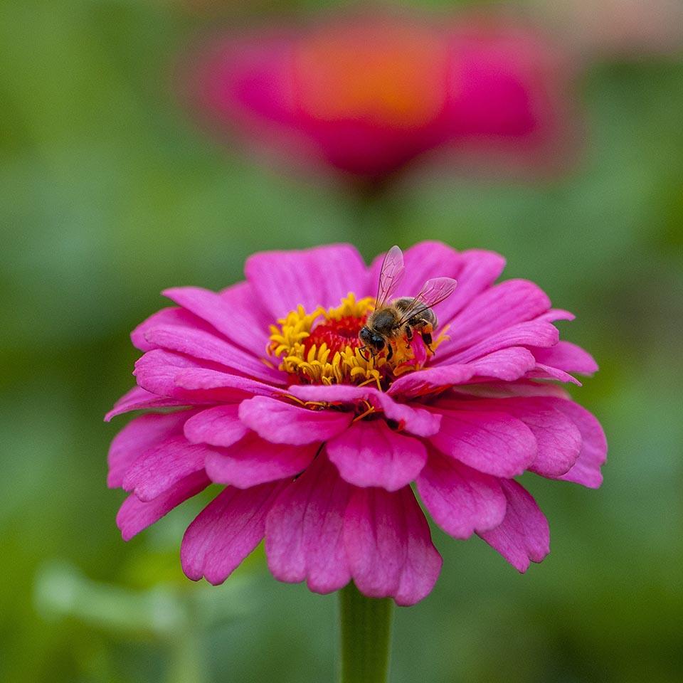 Flor fucsia y abeja