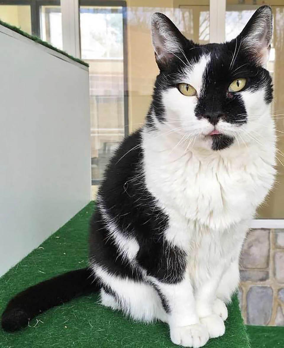 Gata adulta color blanco con negro
