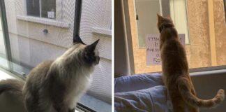 Gatitos vecinos adoran versen el uno al otro a través de la ventana