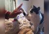 Gato adulto aprende como chocar los cinco y ha sido adoptado