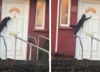 Gato toca la puerta como una persona