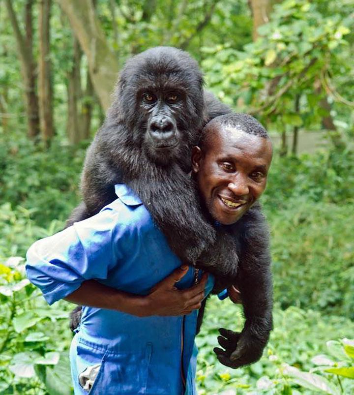 Gorila paseando encima de guardabosques