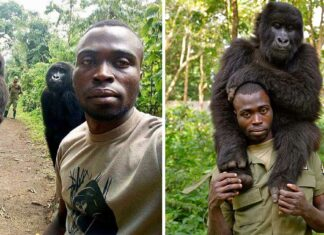 Gorilas huérfanos posan para la selfie con el hombre que los salvo