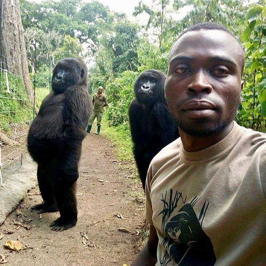 Gorilas posando para la selfie