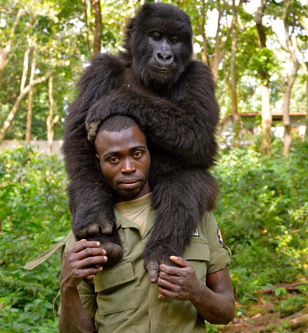 Guardaparques cuida de gorila