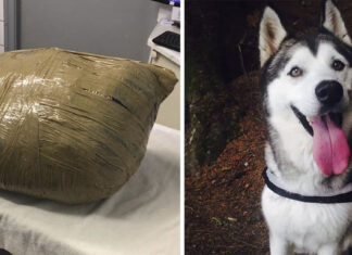 Husky siberiano en una guardería es entregado envuelto en cinta