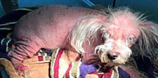 Perrito calvo y enfermo tiene una increíble transformación
