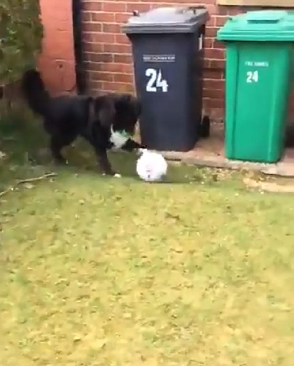 Perrito da patada a balón