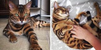 Thor el gato de bengala con un hermoso pelaje