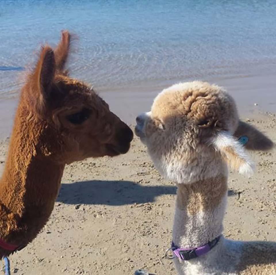 Alpaca y su amiga