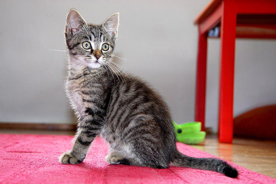 Gatito atigrado tono gris