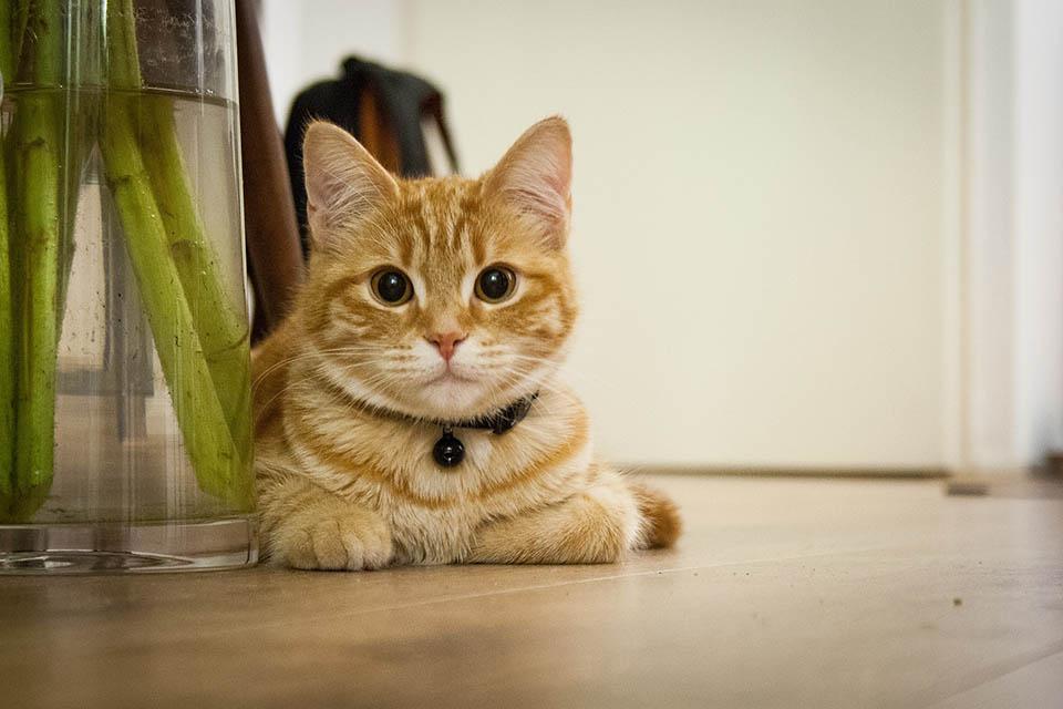 Gato atigrado amarillo
