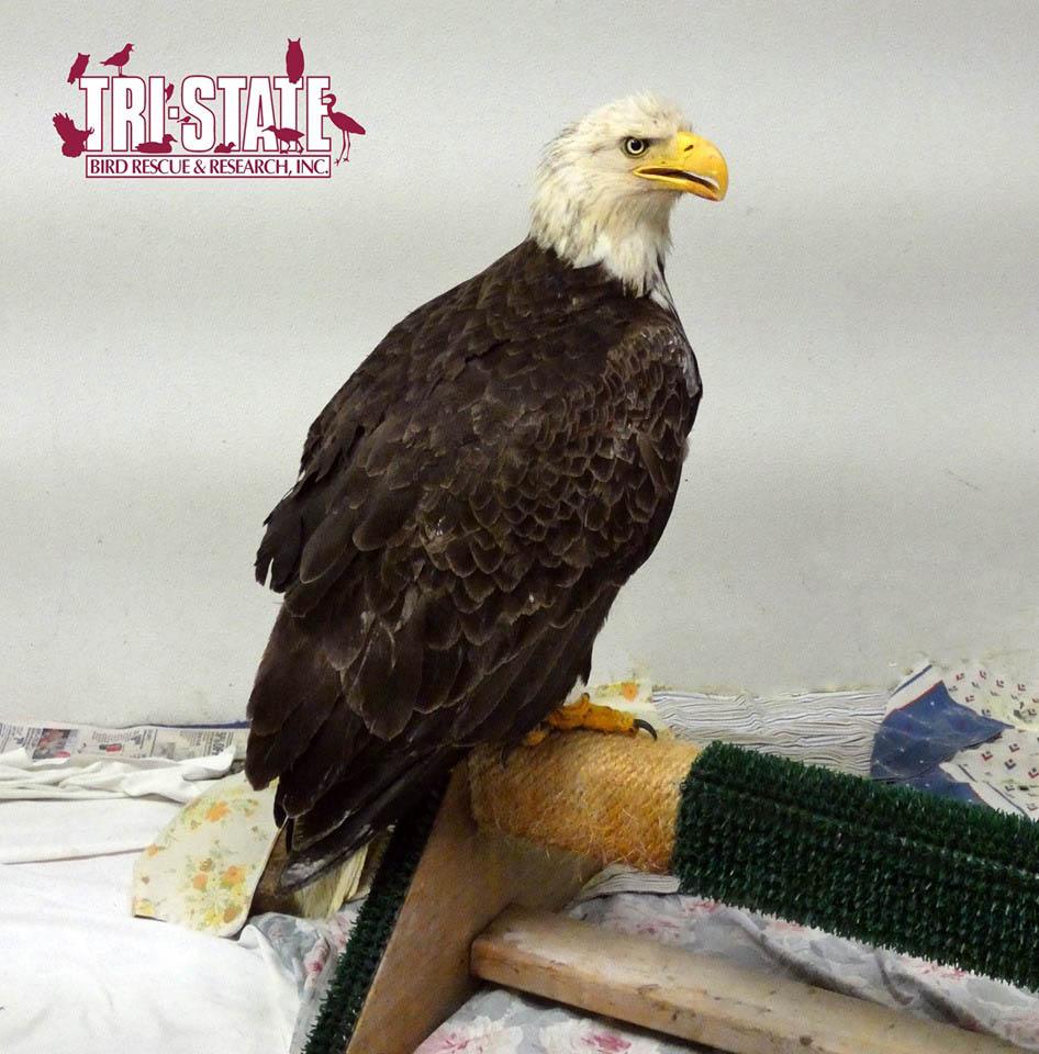 Águila calva recuperándose