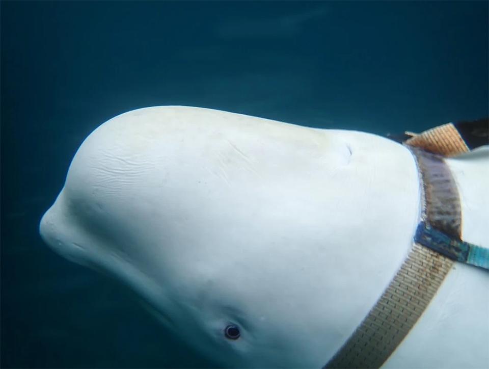 Ballena beluga con arnés