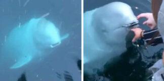 Ballena beluga devuelve el teléfono a una mujer