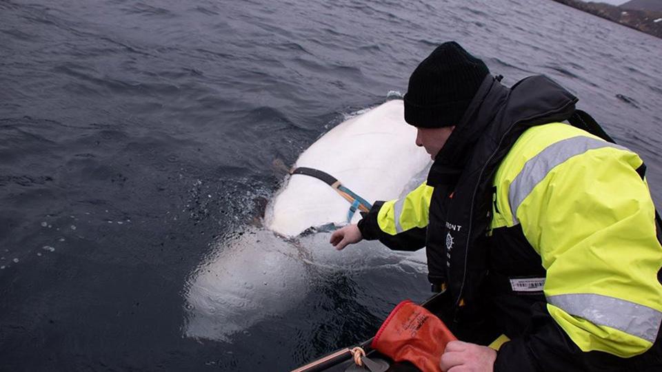 Ballena beluga liberada