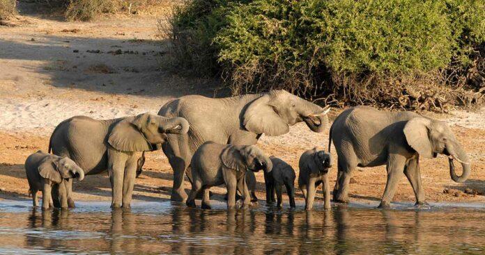Botsuana levanta prohibición de caza de elefantes