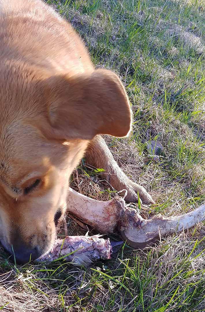 Brickleberry con el hueso de ciervo