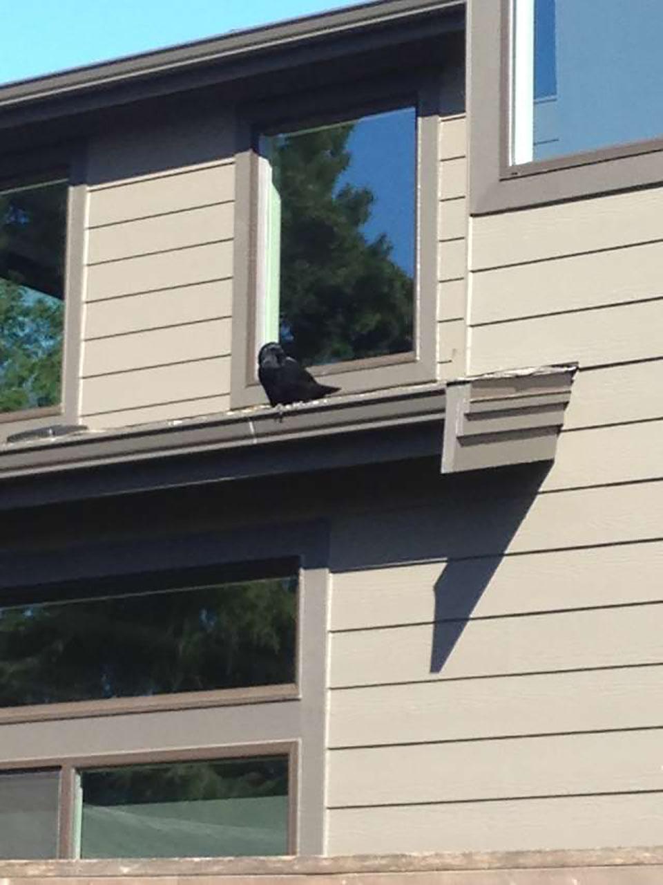 Cuervo en casa