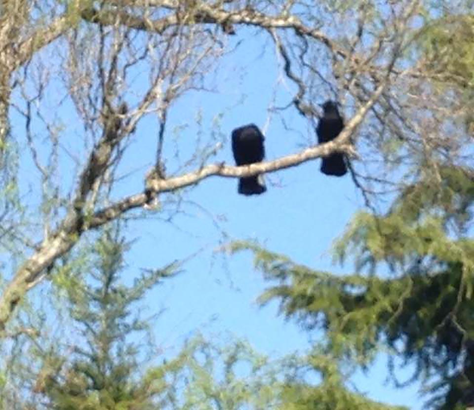 Cuervos en una rama