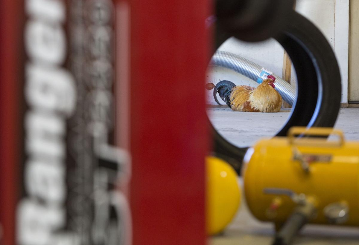 Earl el gallo adoptado por mecánicos