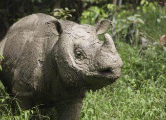 El último rinoceronte macho de Sumatra ha muerto